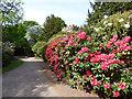 SJ7481 : Tatton Park gardens - rhododendrons by Stephen Craven