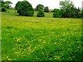SD7511 : Buttercups in Spring by Philip Platt