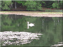 NT4227 : Bowhill Upper Loch with swan and its reflection by David Hawgood
