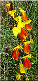 NJ3165 : Broom (Cytisus scoparius) by Anne Burgess