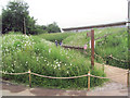 SP9313 : Ox-eye Daisies line the path to the Visitor Centre at College Lake by Chris Reynolds