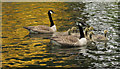 SX7369 : Geese at River Dart Country Park by Derek Harper