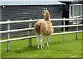 TR0859 : Shy llama in Courtney Road, Dunkirk by pam fray