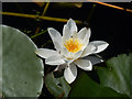 SR9694 : Lily - Bosherston Lily Ponds by Stephen McKay