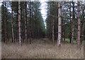TL8296 : Conifer plantation by Hugh Venables