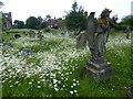 TQ8344 : Ox-eye daisies in Headcorn Churchyard by Marathon