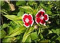 SX9066 : Pinks, Nightingale Park by Derek Harper