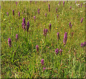 SX9066 : Southern Marsh orchids, Nightingale Park by Derek Harper