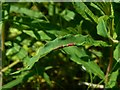 NS3976 : Leaf gall on Rosebay Willowherb by Lairich Rig