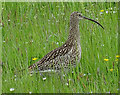 ND4290 : Curlew (Numenius arquata) by Anne Burgess