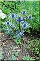 SH5573 : Sea Holly (Eryngium varifolium) by Richard Hoare