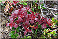 ND1899 : Arctic Bearberry (Arctostaphylos alpinus) by Anne Burgess