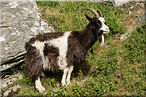 SS7049 : Feral goat by Ian Capper