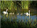 SO8844 : Swans and cygnets by Philip Halling