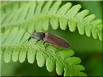 NS3977 : A click beetle by Lairich Rig