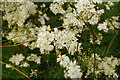 SE6756 : Flowers of Filipendula vulgaris, Breezy Knees Gardens by Rich Tea