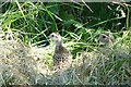 NY9291 : Pheasant chicks by Russel Wills