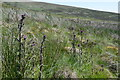 NT1055 : Thistles, West Water moorland by Jim Barton