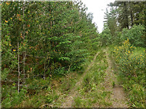 NH7379 : Minor track in Morangie Forest by Julian Paren