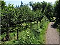 NZ8202 : Apple orchard by Rail Trail, Beck Hole by Andrew Curtis