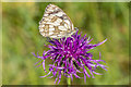 TQ1752 : Marbled White on Knapweed by Ian Capper