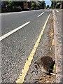 SK4933 : Dead hedgehog on Nottingham Road by David Lally