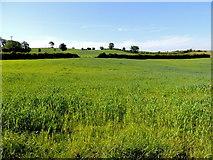 H3990 : Crop field, Drumnahoe by Kenneth  Allen