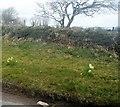 SX2357 : Daffodils on a roadside verge by N Chadwick