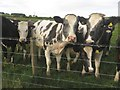 NT9907 : Inquisitive cattle near Netherton Burnfoot by Graham Robson