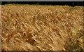 SU0630 : Barley, Burcombe by Derek Harper