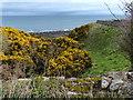 NT7673 : Gorse bushes next to the John Muir Way by Mat Fascione