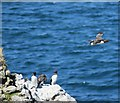 NM2742 : A guillemot takes flight by Rob Farrow