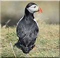 NM2742 : Puffin (Fratercula arctica) on Lunga (2) by Rob Farrow