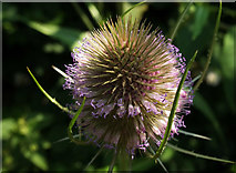 SX9066 : Teasel near the County Court by Derek Harper