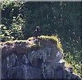 NM4759 : White Tailed Sea Eagle (Haliaeetus albicilla) chick by Rob Farrow