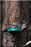 NH9718 : Juvenile Great Spotted Woodpecker (Dendrocopos major) on a feeder at the Loch Garten Osprey Centre by Mike Pennington