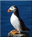 NT6599 : Puffin (Fratercula arctica) by Anne Burgess