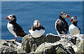 NT6599 : Puffins (Fratercula arctica) by Anne Burgess