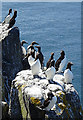 NT6599 : Auks on Rocks by Anne Burgess