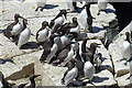NT6598 : Guillemots (Uria aalge) by Anne Burgess