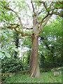 SE3337 : Chestnut tree in St John's churchyard, Roundhay by Stephen Craven