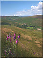 SD6449 : Foxgloves on Mellor Knoll by Karl and Ali