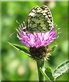 SP0513 : Marbled white butterfly on common knapweed by Steve Daniels