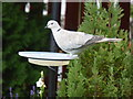 NJ6201 : Collared Dove at the water dish by Stanley Howe