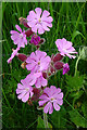 HY5042 : Pink Campion by Anne Burgess
