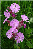 HY5042 : Pink Campion by Anne Burgess
