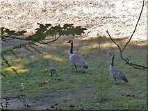 SK1987 : Geese and gosling by Michael Dibb