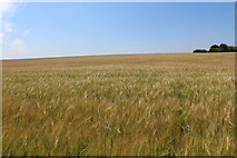 SE4738 : Field of Barley - The Yorkist Lines by Chris Heaton