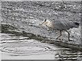 SJ4065 : Heron fishing on Chester's River Dee weir #1 by John S Turner