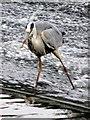 SJ4065 : Heron fishing on Chester's River Dee weir #3 by John S Turner
